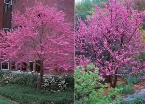 chicago illinois landscaping buy eastern redbud trees online