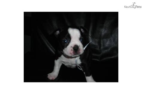 puppies for sale ky boston terrier puppies from breeders for sale louisville