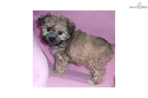 baby yorkie poo meet baby a yorkiepoo yorkie poo puppy for sale for 500 baby precious