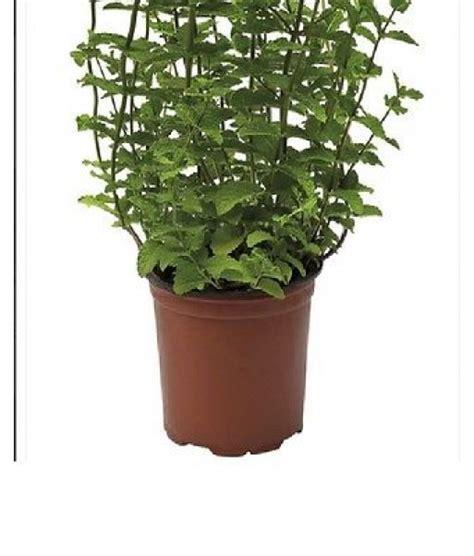 menta in vaso pianta di menta in vaso cm 12