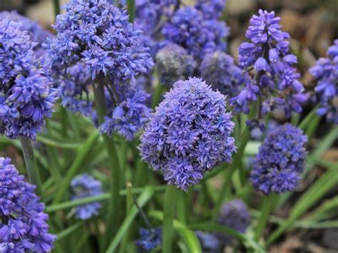 Indoor Vine Plant Muscari Armeniacum Blue Spike