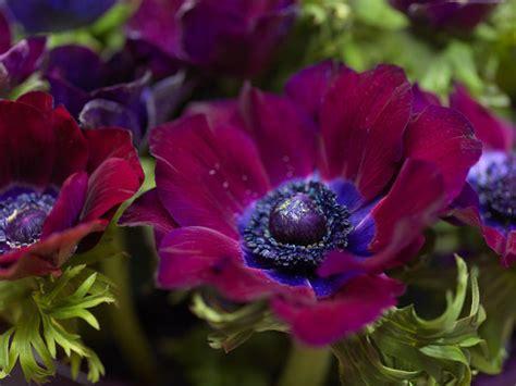 anemone bordeaux buy anemone bulbs anemone coronaria bordeaux delivery