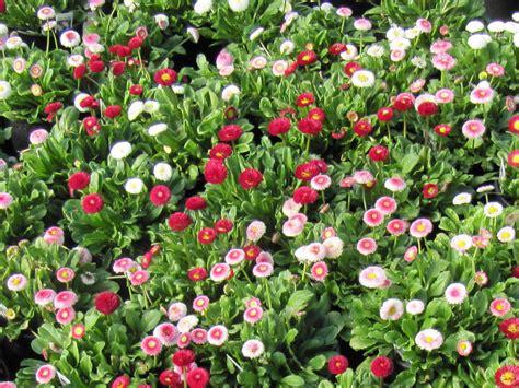 pratolina fiore giardinaggio la pratolina coltivata ovvero la bellis pompon