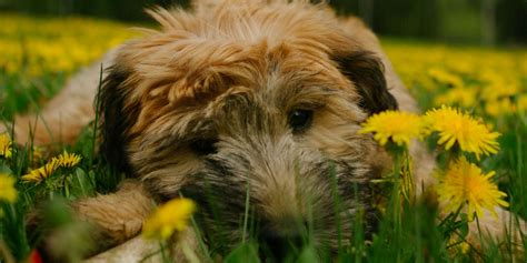 dogs that dont shed 20 dogs that don t shed much hypoallergenic breeds