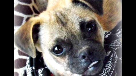 tracy s dogs romeo adoption tracysdogs