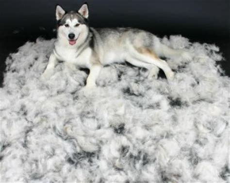 Do Siberian Husky Shed by No Groomers Were Injured In The Writing Of This