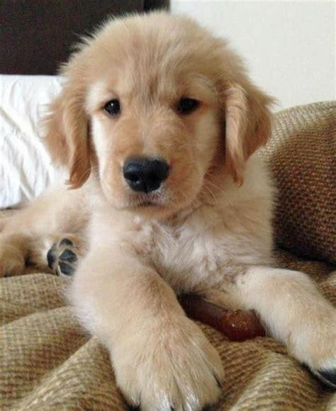 big golden retriever puppies the golden retriever puppies daily puppy