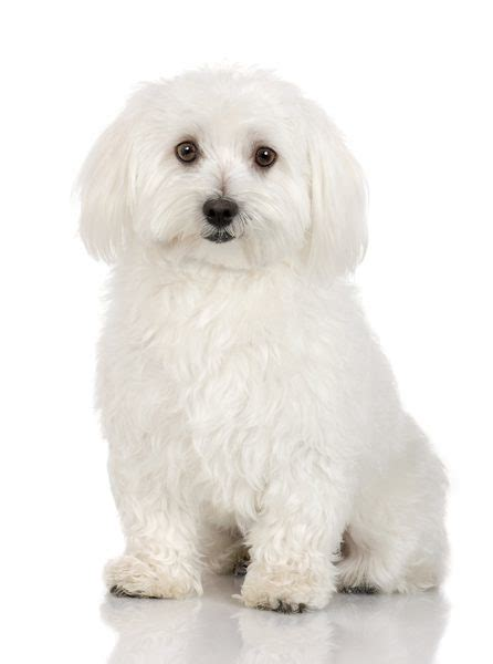 teddy puppies information facts about teddy dogs pets