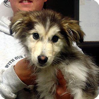 husky puppies vt adopted puppy brattleboro vt husky sheltie shetland sheepdog mix