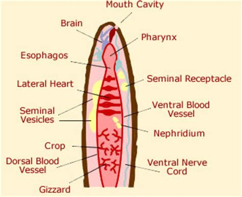 earthworm inside parts worm anatomy diagram picture of worms