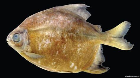 amazon fish new species discovered in amazon rainforest cbbc newsround
