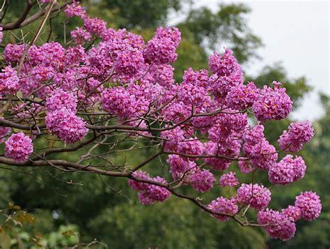 tabebuia avellanedae dwarf pink trumpet tree pink