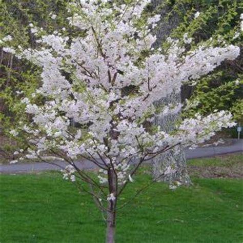 8 cherry trees lower stondon onlineplantcenter 5 gal 5 ft yoshino cherry tree p3885g5 the home depot