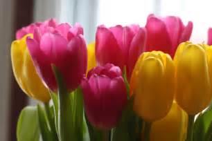 tulip colors tulips pink color photo 30709886 fanpop