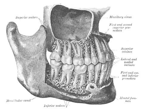 bone setter definition premolar wikipedia