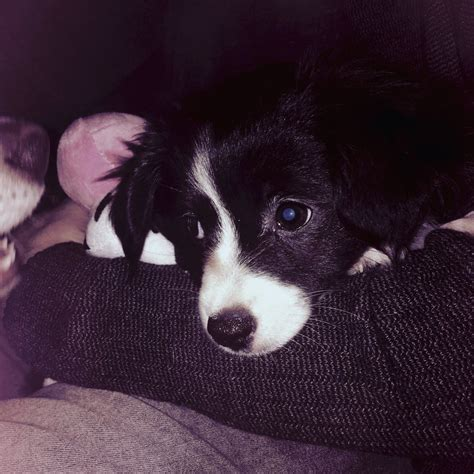 paperanian puppies paperanian puppy 9 weeks sutton coldfield west midlands pets4homes
