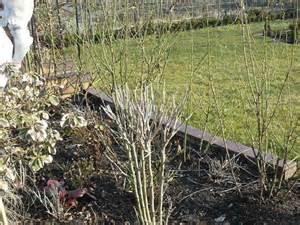 garten hibiskus schneiden seite 1 gartenpraxis mein sch 246 ner garten
