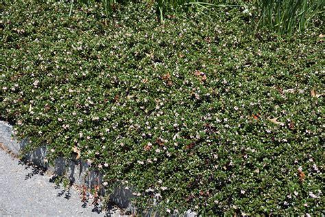 bearberry arctostaphylos uva ursi  regina