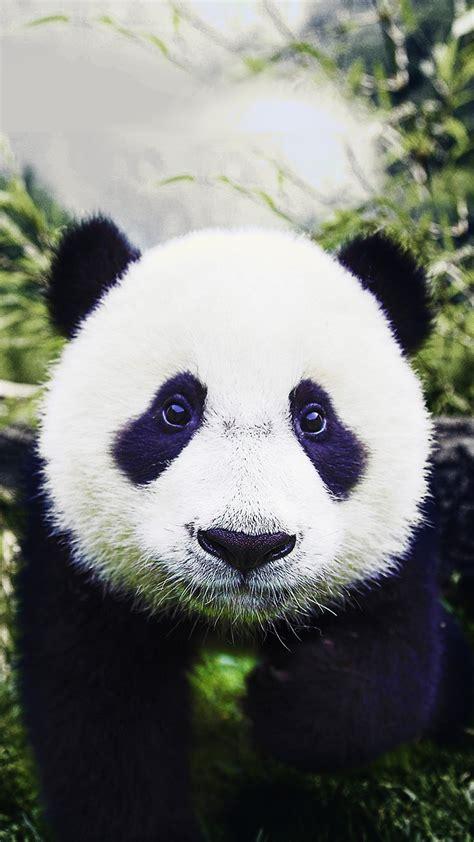 panda mobile baby panda hd wallpaper for your mobile phone