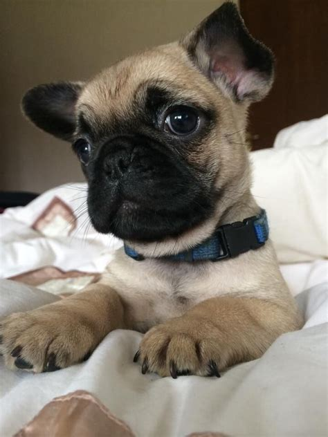 frenchie pug breeders frenchie pug breed information pictures more