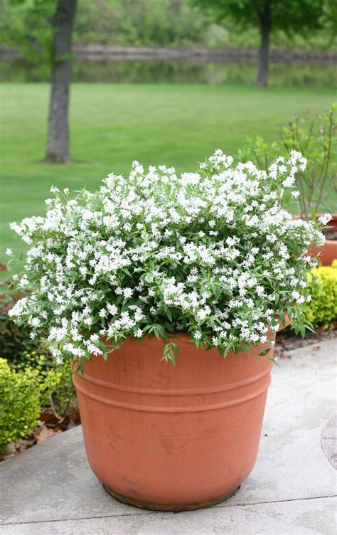 shrubs  containers images  pinterest