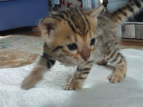 kitten for sale beautiful bengal kittens for sale lancashire