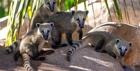 Kids Bedroom Idea coati san diego zoo safari park