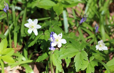 anemone english bluebells and wood anemones wildflowers an english wood