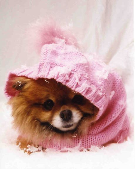 pomeranian miniature for sale mini pomeranians for sale pomeranian breeder uk
