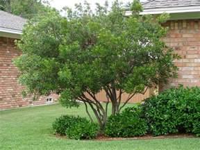 morella cerifera wax myrtle small evergreen tree often