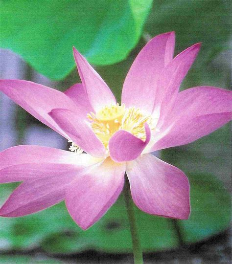 lotus flower meaning pictures blue white lotus flowers