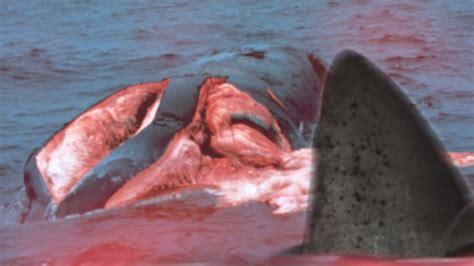 shark attacks related incidents shark attack survivors shark attack victims photo gallery www pixshark com