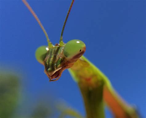 praying mantis christmas tree garden q a praying mantis egg cases on your tree could pose problems daily press