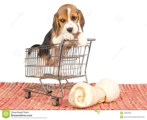 puppy shopping beagle puppy in mini shopping cart stock photo image 10051360