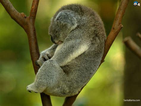 baby koala wallpaper  wallpapersafari