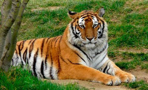 imagenes en 3d de tigres tigre para colorear dibujos para colorear