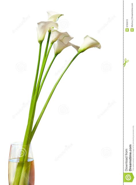 calla in vaso fiori calla in vaso fotografie stock immagine 9765613