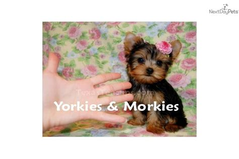 micro tiny teacup yorkies sale teacup morkie puppy quotes
