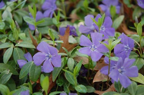pervinca fiore significato pervinca significato dei fiori significato