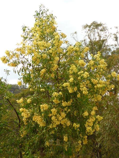 tree australia australian trees acacia trees wattle trees