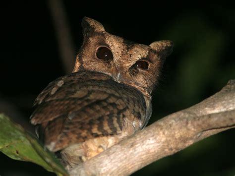 coffeecave owl alias burung hantu