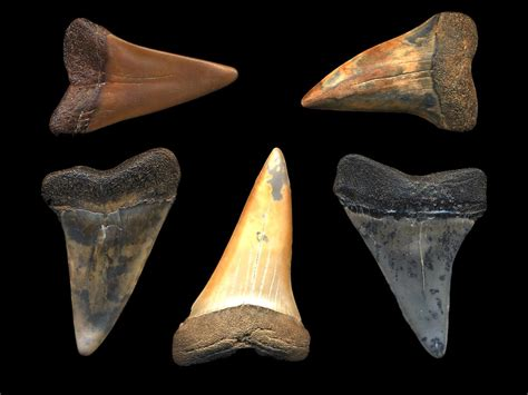 what color are sharks fossilguy why are fossil shark teeth different colors