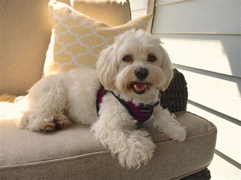 havanese problems how to an excited havanese to stop barking and behave when guests knock