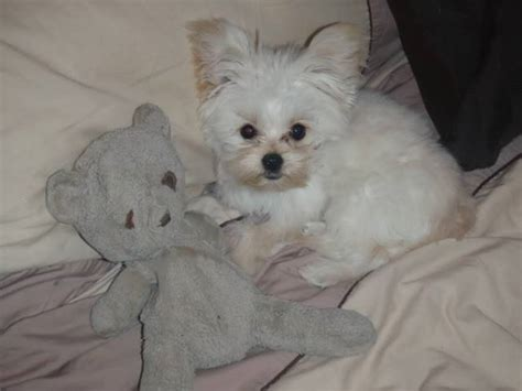 yorkie white white yorkie with teddy terriers yorkies picture