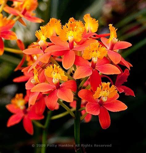 Epidendrum Orchid   CHILLAPPLE Group International hobbies