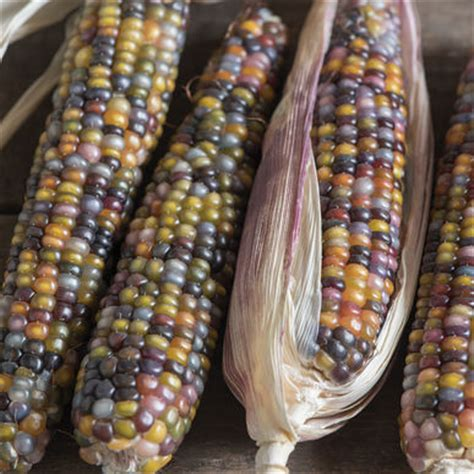 Glass Gem Corn Benih Seed Biji glass gem corn seed johnny s selected seeds