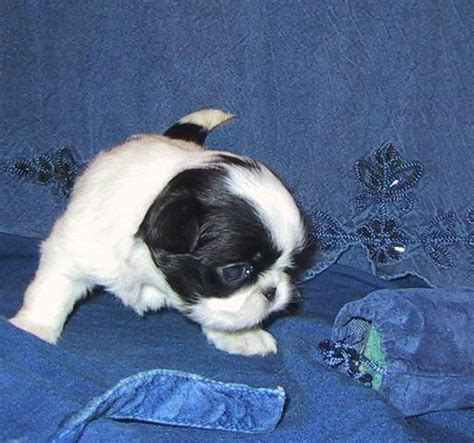 pug puppies rochester ny julie s japanese chins rochester ny local puppy