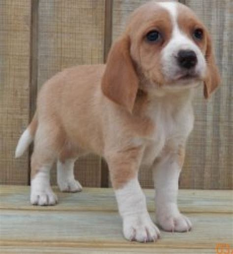 beagle puppies for adoption amazing beagle puppies for adoption offer 150