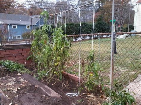 Best Tomato Trellis System tomato supporting vine from horizontal pipe walter reeves the gardener