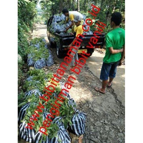 Jual Bibit Vanili Unggul jual bibit tanaman unggul murah di purworejo